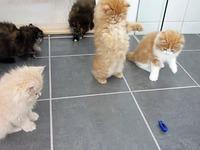 Des chatons abosrbés par leur jouet