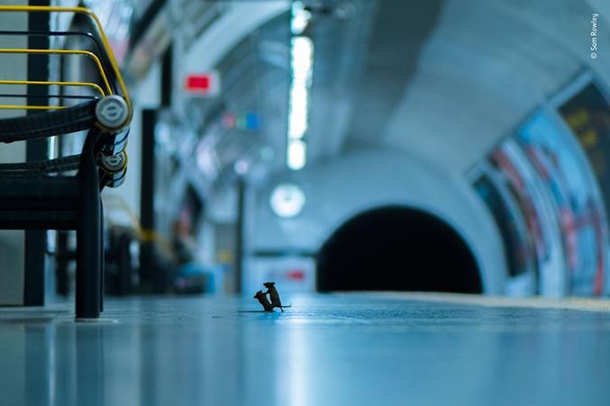 Un combat de souris dans le métro remporte le prix du choix du photographe animalier de l'année.
