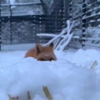 Rox et Snowi