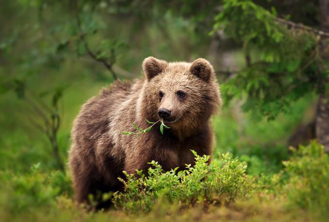 """https://www.aspas-nature.org/communiques-de-presse/2020/3-ours-de-moins-3-ours-de-plus/  Merci la """"Chasse"""" ! Et merci Macron qui a fait sauter le confinement pour les psychos qui pratique ce truc d'aller tuer des animaux pour le plaisir. Et merci aussi d'avoir divisé par deux le permis, rameutant tout une nouvelle génération de cinglés de la gâchette. On ne parlera pas des aigles de Bonelli abbatus. :/  Je me demande encore comment Hulot a pu rester si longtemps auprès de de jean-foutre usurpateur à l'Elysée  https://www.lepoint.fr/societe/un-ours-tue-dans-les-pyrenees-le-troisieme-depuis-le-debut-de-l-annee-30-11-2020-2403290_23.php https://www.liberation.fr/france/2020/11/30/l-ourse-sarousse-tuee-par-un-chasseur-dans-les-pyrenees_1807184"""