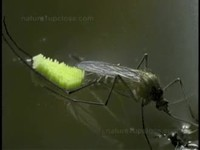 Ponte d'œuf de moustique