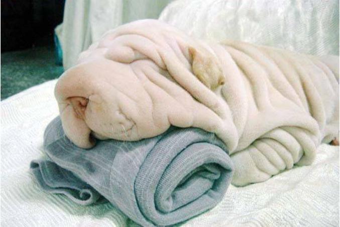 """Un chien de race """"serviette""""."""