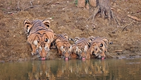Tigre et tigreaux synchros