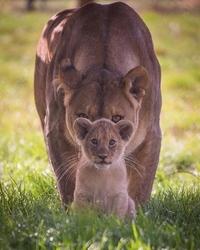 Un lionceau impressionnant