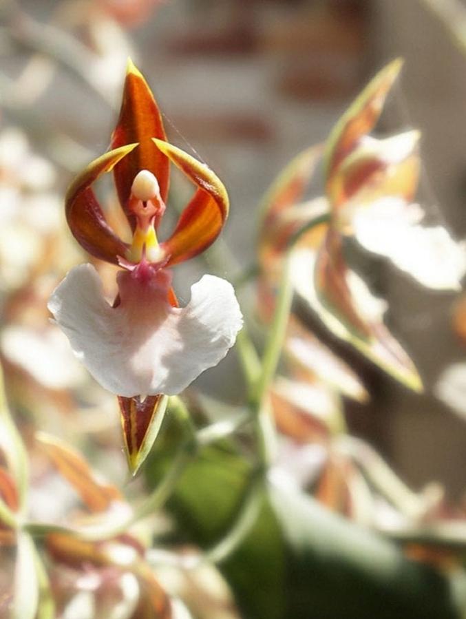 """Aussi connue sous le nom d'orchidée ballerine. Vous comprenez maintenant pourquoi. Et si on prend l'étymologie d'orchidée, on pourrait les appeler """"testicules danseurs""""."""