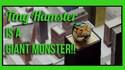 Un Hamster géant !