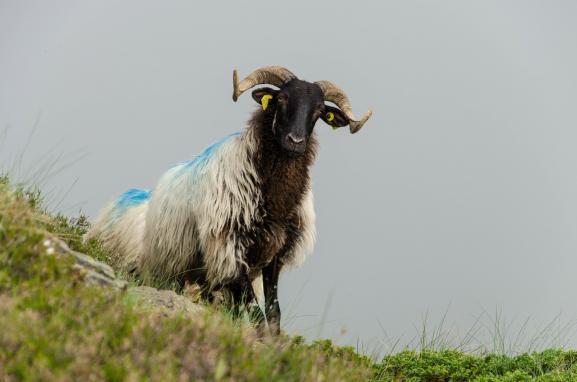 Les brebis d\'Élise Thébault sont des Manech tête noire, une race locale des Pyrénées.