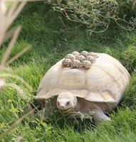 La maman tortue ira toujours au pas