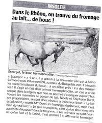 Chèvre ou bouc ?