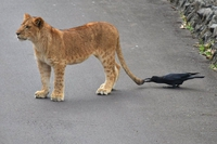 Jeune et fière lionne