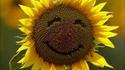 Un tournesol heureux