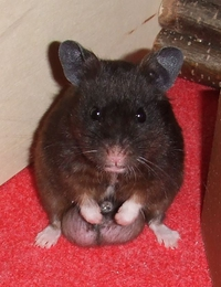 Recherche urgemment une madame souris