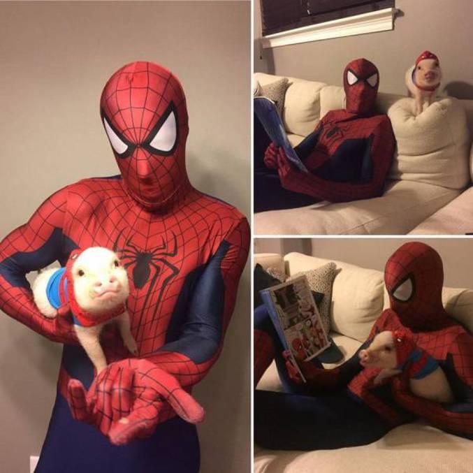 Spider Cochon, Spider Cochon, Il peut marcher au plafond. Est-ce qu'il peut faire une toile ? Biensûr que non, c'est un cochon. Prends garde ! Spider Cochon est là.