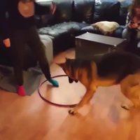 Un chien tente le Hula hoop