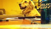 Un chien mélomane