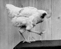 L'histoire de Mike, le poulet sans tête