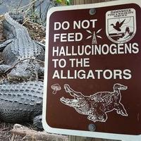 De la dépendance chez les alligators ...