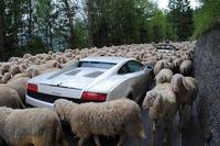 Kan 110 chevaux sont bloqués par 220 moutons...
