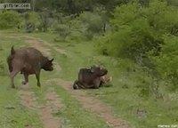 Entraide entre buffles