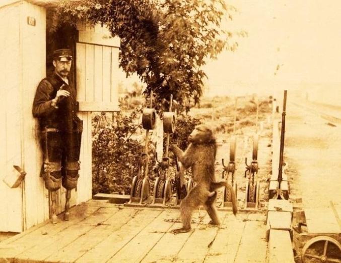 Dans les années 1880, en Afrique du Sud, un babouin nommé Jack travaillait comme assistant avec James, un aiguilleur du chemin de fer. James était amputé des deux jambes, il a donc enseigné au babouin à l'aider à faire fonctionner les signaux ferroviaires sous surveillance.  À un moment donné, les passagers ont prétendu que la station était tenue et exploitée par un singe. Une enquête officielle a été ouverte, mais les autorités se sont assurées que le babouin était suffisamment qualifié pour devenir un employé officiel. Son salaire était de 20 cents par jour. En 9 ans de travail, Jack n'a jamais fait une seule erreur.