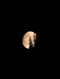 La lune et les sapins