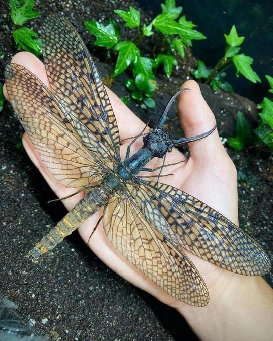 Si vous n'êtes pas très rassuré en présence de grosses mouches, mieux vaut ne pas vous aventurer dans le Sichuan, en Chine. C'est dans les montagnes de cette province qu'a récemment été découvert un insecte que l'on dirait tout droit sorti du film King Kong.  Ce nouveau membre de la famille des mégaloptères pourrait bien être le plus gros insecte aquatique connu à ce jour. Et pour couronner le tout, il vole.  Envergure record  Les scientifiques en savent encore peu sur cet insecte impressionnant. Les quelques 300 espèces de mégaloptères connues restent d'ailleurs plutôt mystérieuses pour les entomologistes. Le spécimen capturé dans les montagnes de Chengdu a une envergure d'environ 21 cm, de quoi détrôner la demoiselle d'Amérique du Sud, actuelle détentrice du record du monde avec son envergure pouvant atteindre les 19 cm.  Bien sûr, des largeurs encore plus importantes ont déjà pu être observées, mais chez des espèces ayant vécu il y a environ 250 millions d'années : les libellules géantes, avec leurs 76 cm d'envergure, par exemple.  Un insecte sensible à la qualité de l'eau  Le gros insecte chinois ne porte pas encore de nom, mais les experts du Musée des Insectes de Chine de l'Ouest lui ont découvert une propriété intéressante : il représente un très bon indicateur de la qualité de l'eau. Cette espèce aquatique est extrêmement sensible au niveau de pH de l'eau, et aux traces d'éventuels polluants.  Il suffit que l'eau soit à peine contaminée pour que ce Corydalinae - la sous famille de mégaloptères à laquelle cet insecte appartiendrait - ne quitte la zone pour chercher des eaux de meilleure qualité. Cette caractéristique lui offre une place à part chez les mégaloptères, que l'on peut normalement croiser tant dans les eaux claires que dans des environnements boueux et pollués.   https://www.maxisciences.com/insecte/le-plus-gros-insecte-aquatique-au-monde-decouvert-en-chine_art33114.html