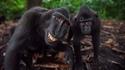Macaques nègres