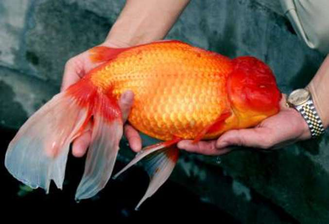Le poisson rouge le plus gros du monde nécessitera un aquarium en conséquence.