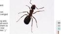 """""""Les fourmis volantes sont identiques ..."""