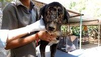 Un chien bouffé par des vers sauvé
