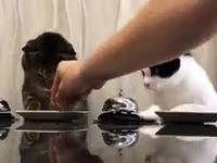 Deux chats réclament des croquettes en appuyant sur leurs sonnettes de comptoir