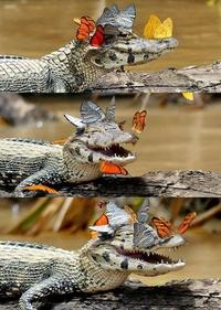 Un croco qui aime les papillons...