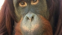 Un grand singe