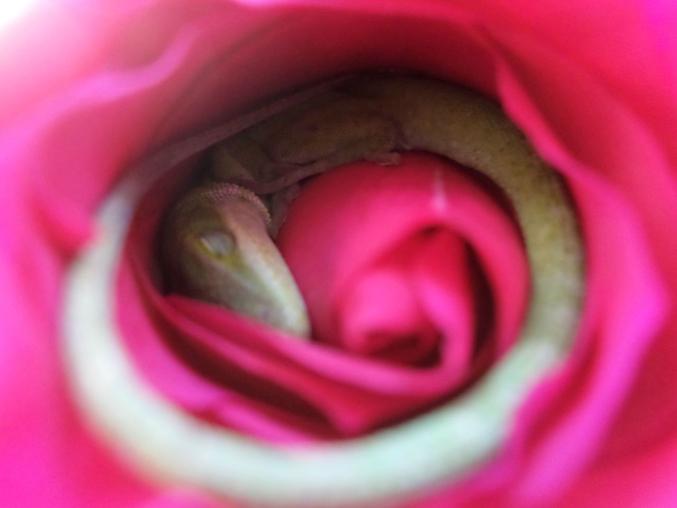 Si jamais vous entendez une rose ronfler...