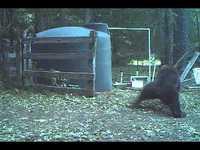 Quand un ours se gratte le dos ...
