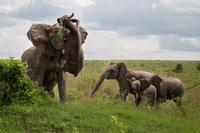 Qui est le plus fort, l'éléphant ou l'hippopotame ?