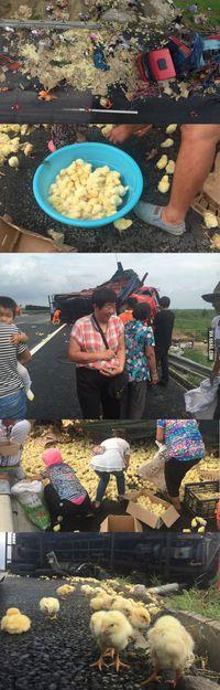 Accident de camion de poussins