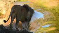 Un moment majestueux, un lion marche sur sa cascade d'eau