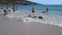 Echouage de dauphins