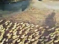 5000 canetons prennent leur premier bain