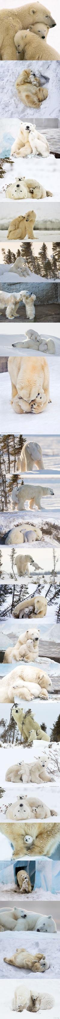Maman ours polaire et ses petits