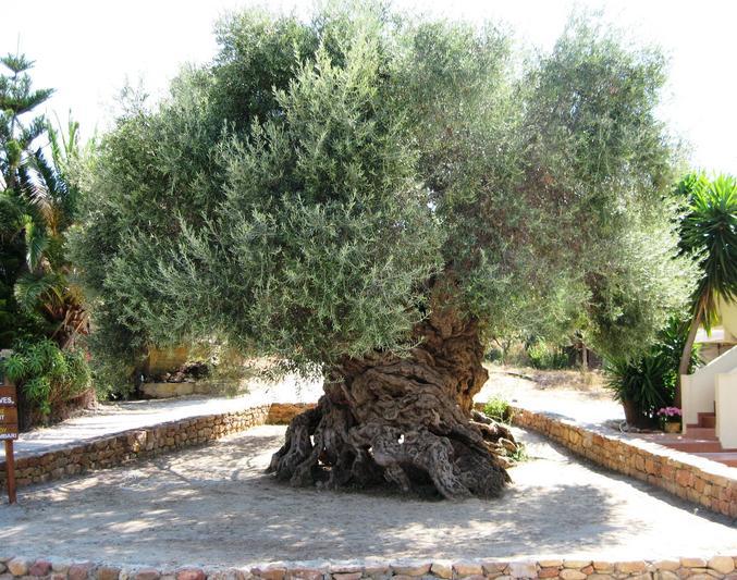 Le bel âge, il est situé en Crète et produit encore des olives.
