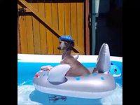 Un chien avec un chapeau sur un requin