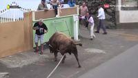 Il filme un taureau avec sa tablette