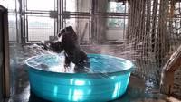 Un gorille dans une piscine