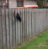 Sauvetage d'un corbeau