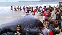 Une baleine échouée retrouve la liberté après 24 heures de sauvetage
