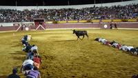 Une chenille humaine tente de traverser une arène sans se faire attaquer par un taureau