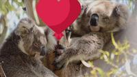 Comment les koalas célèbrent la Saint-Valentin
