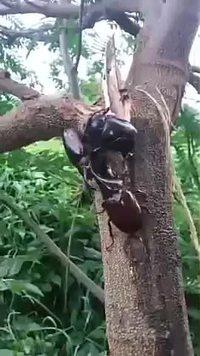 Combattre pour une femelle
